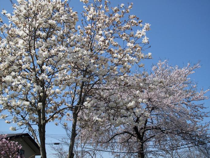 Sakura 00