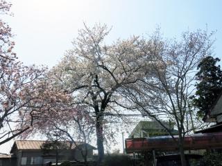 Sakurafubuki 00